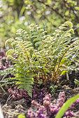Clump of Soft shield fern (Polystichum setiferum) 'Proliferum' in spring