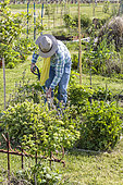 Man working in a vegetable garden in spring