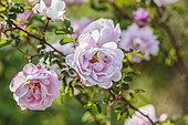 Burnet rose (Rosa pimpinellifolia) 'Souvenir de Ferdinand Leroy'
