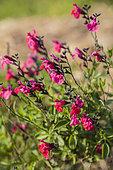 Baby Sage (Salvia microphylla) 'Pink Blush'