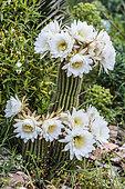 Flowering Cactus (Echinopsis spachiana aka Trichocereus spachianus), a hardy cactus down to -12 ° C and even less.