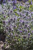 Greek Horehound (Marrubium cylleneum) 'velvetissimum', a dry Mediterranean plant.