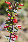 Portrait of Scarlet beardtongue (Penstemon murrayanus), American dryland perennial