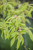 Peach tree suffering from iron chlorosis in calcareous soil.