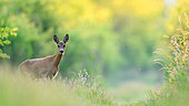 Roe (Capreolus capreolus) in afternoon, Slovakia