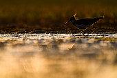 Northern Lapwing (Vanellus vanellus) at sunset, Slovakia