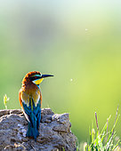 Bee-eater (Merops apiaster) on ground, Slovakia