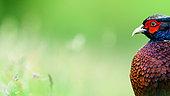 Pheasant (Phasianus colchicus) male, Slovakia