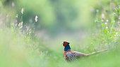 Pheasant (Phasianus colchicus) male in grass, Slovakia