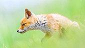 Red fox (Vulpes vulpes) in grass, Slovakia