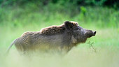Wild pig (Sus scrofa) in grass, Slovakia