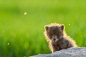 Renard roux (Vulpes vulpes) portrait de renardeau, Slovaquie