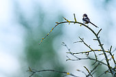 Long-tailed tit (Aegithalos caudatus) on a branch, Slovakia