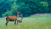 Red deer (Cervus elaphus) hind with fawn, Slovakia