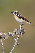 Whinchat (Saxicola rubetra), side view of an adult male perched on a dead thistle, Abruzzo, Italy