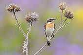 Whinchat (Saxicola rubetra), adult male perched on a dead thistle, Abruzzo, Italy