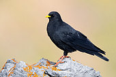 Alpine Chough (Pyrrhocorax graculus), side view of an adult standing on a rock, Trentino-Alto Adige, Italy