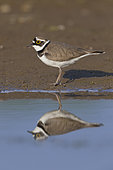 Little Ringed Plover (Charadius dubius), side view of an adult standing on the mud, Campania, Italy