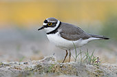 Little Ringed Plover (Charadius dubius), side view of an adult standing on the ground, Campania, Italy