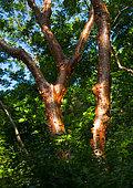 Gommier rouge (Bursera simaruba), Colline de Majaguas, belvédères du Pacifique, village de Lo de Marcos, Riviera Nayarit, océan Pacifique, État de Nayarit, Mexique