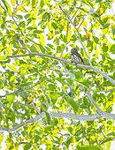 Ferruginous Pygmy Owl, Tecolote bajeño, búho bajeño, caburé chico, Glaucidium brasilianum, Birdwatching, Aticama, San Juan Mountain Range, San Blas municipality, Matanchen Bay, Pacific Ocean, Riviera Nayarit, Nayarit State, Mexico, Central America, America