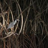 Yellow-crowned night heron (Nyctanassa violacea), GARZA NOCTURNA CORONA CLARA, La Tovara National Park, Ramsar Site, Wetlands of International Importance, San Blas Town, Matanchen Bay, Pacific Ocean, Riviera Nayarit, Nayarit state, Mexico, Central America, America