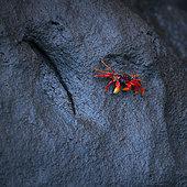 Crabe de mangrove du Pacifique (Ucides occidentalis) dans la mangrove, La Tovara, Site Ramsar, Ville de San Blas, Baie de Matanchen, Océan Pacifique, Riviera Nayarit, État de Nayarit, Mexique,