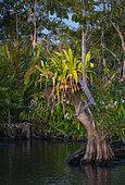 Plante épiphyte en fleurs dans la mangrove, La Tovara, Site Ramsar, Ville de San Blas, Baie de Matanchen, Océan Pacifique, Riviera Nayarit, État de Nayarit, Mexique,