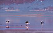 FLAMENCO DE JAMES, PARINA CHICA, Phoenicoparrus jamesi, Laguna Carachi Pampa, El Peñón village, La Puna, Argentina, South America, America