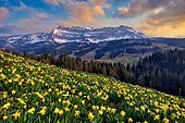 Daffodils (Narcissus) in bloom in front of Berg Hohgant in the evening, Schangnau, Emmental, Canton Bern, Switzerland, Europe