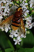 Hornet Mimic Hoverfly (Volucella zonaria) on flowers, France