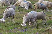 Herd of grazing sheep, Alpes de Haute Provence, France