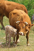 Limousine cow and calf in a meadow, France