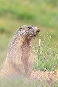 Alpine Marmot (Marmota marmota) standing, Alps, France
