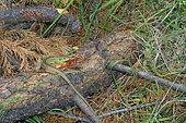 Western Green Lizard (Lacerta bilineata) on dead wood, France