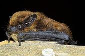 Savi's pipistrelle (Hypsugo savii) posed, France
