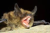 Whiskered Bat (Myotis mystacinus) portrait, France