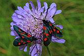 Six-spot Burnet (Zygaena fillipendulae) on flower, France