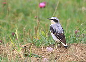 Northern wheatear (Oenanthe oenanthe) on ground, France