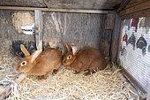 Domestic rabbits 'Fauve de Bourgogne' in a hutch, Pas de Calais, France