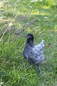 Young hen Blanc Bleu France (BBF) in a garden in summer, Vosges, France