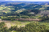 Spruce trees attacked by bark beetles in the Vosges mountains in summer, Haute-Saône, France