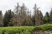 Spruce attacked by bark beetles in summer, The 2 bark beetles responsible for damage to spruce trees are the calcograph and the typograph, Vosges, France