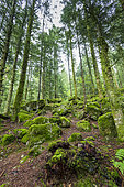 Forest undergrowth in summer, la Bresse, Vosges, France