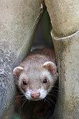 Portrait of a ferret, France