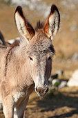 Provence donkey, portrait, Vaucluse, France