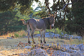 Provence donkey , in a meadow Vaucluse, France