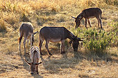 Herd of Provence donkey, in a meadow, Vaucluse, France