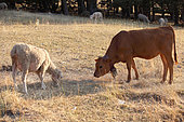 Tarentaise cow in the meadow with a sheep, Vaucluse, France