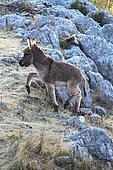 Provence donkey, colt on rock, Vaucluse, France